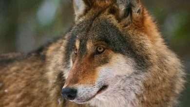 Из жизни чернобыльских волков